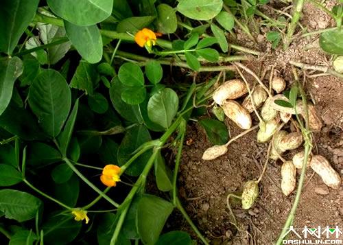 科属:豆科,落花生属花生又名落花生,双子叶植物,叶脉为网状脉,种子