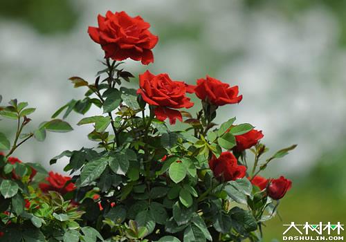月季、玫瑰和蔷薇