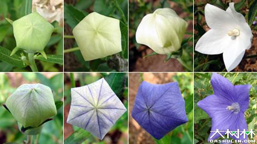 中文学名:   桔梗   科:   桔梗   科 Campanulaceae   ...